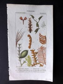 Turpin C1820 Antique Hand Col Sea Life Print. Coral, Seaweed 55